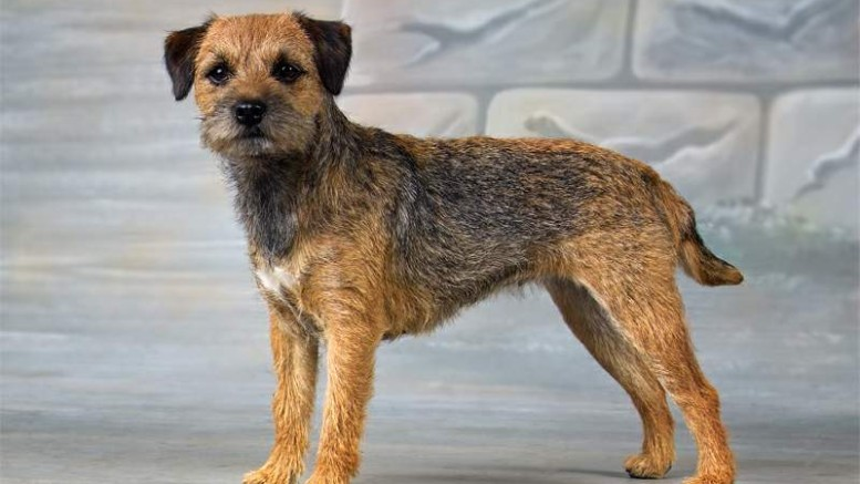 Image For Border Terrier Rescue