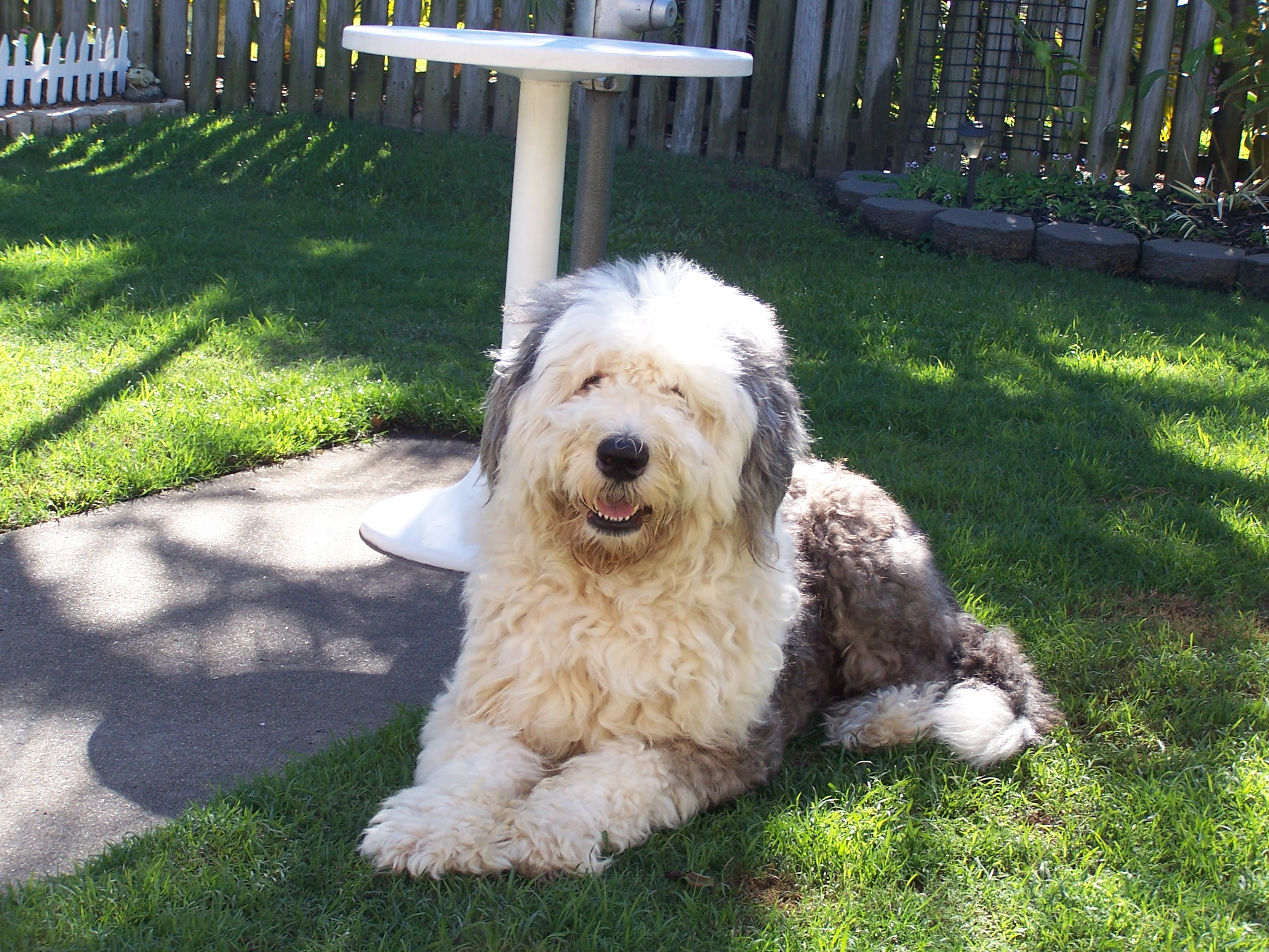 Are Old English Old English Sheepdog History Personality Appearance Health And