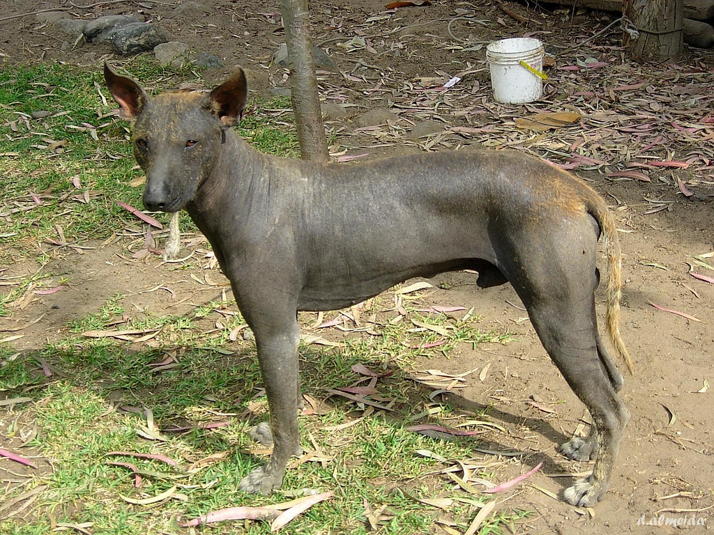 Ideal Hairless Dog Breeds Mexico Hairless Dog Breeders Australia Peruvian Hairless Dog Peruvian Hairless Dog Health bark post Hairless Dog Breeds