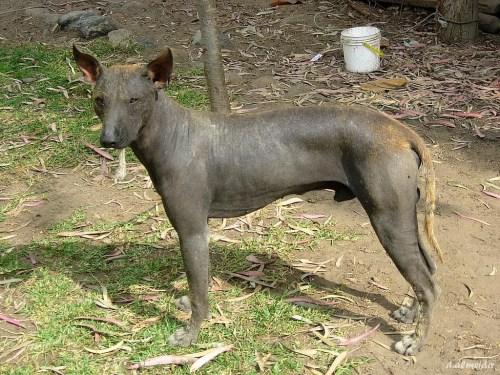 Medium Of Hairless Dog Breeds
