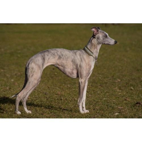Medium Crop Of Fastest Dog Breeds