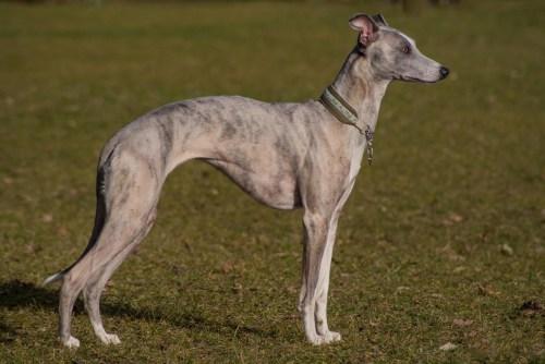 Medium Of Fastest Dog Breeds