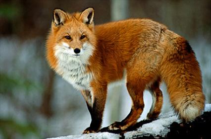Beautiful Tattoo Girl Wallpaper Klock A Red Fox