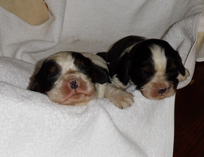 2 chiots cavalier king charles tricolore