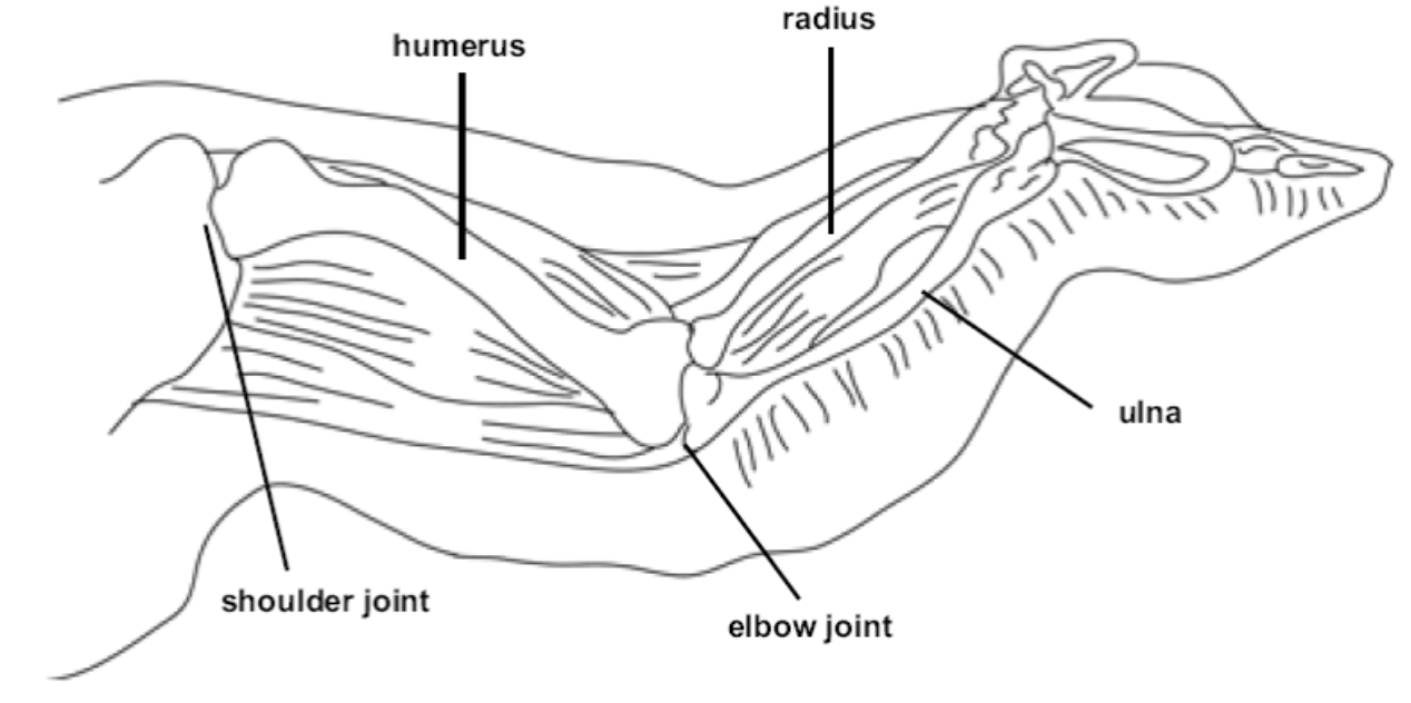 diagram of a chicken wing from the lab sheet used