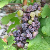 Botrytised grapes