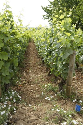 Pinot Noir vines in Morey-Saint-Denis