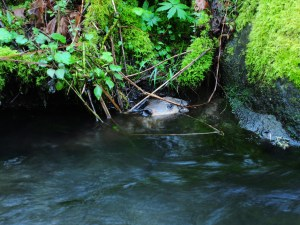 This beaver stopped at our stream-side camp after dinner.