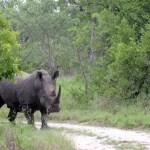 Fotos Parque Kruger Sudáfrica, rinoceronte