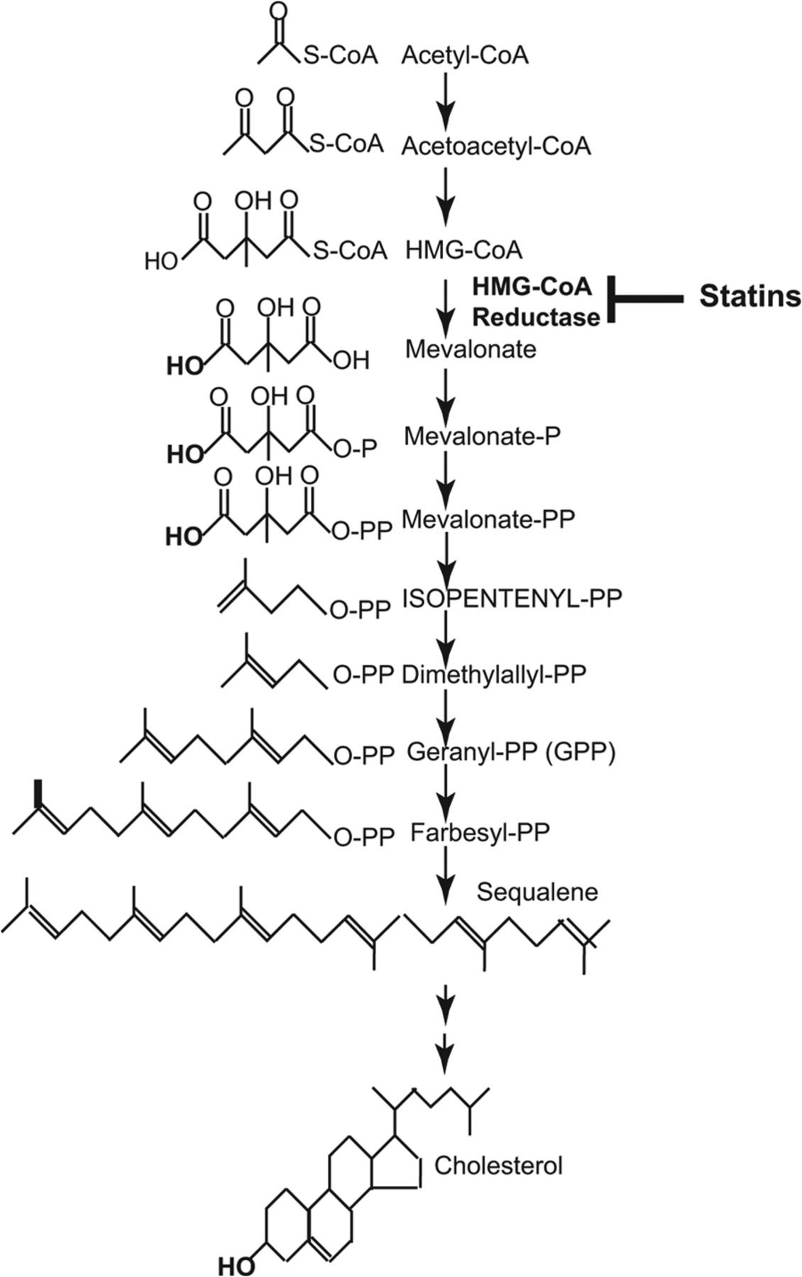 3 Hydroxyl 3 Methylglutaryl Coenzyme A Hmg Coa Reductase Inhibitor Statin Induced 28 Kda Interleukin 1β Interferes With Mature Il 1β Signaling Journal Of Biological Chemistry