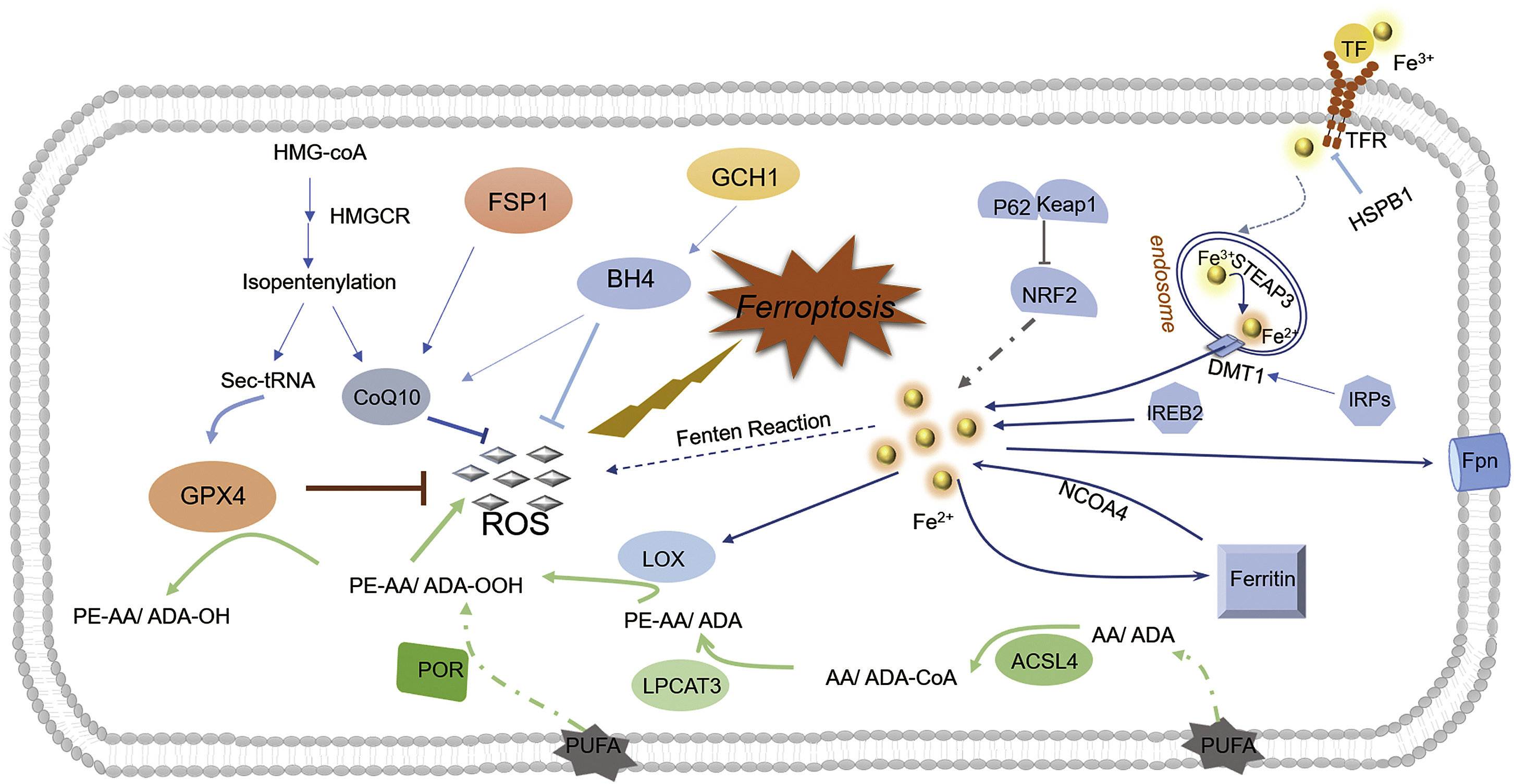 Emerging Mechanisms And Targeted Therapy Of Ferroptosis In Cancer Molecular Therapy