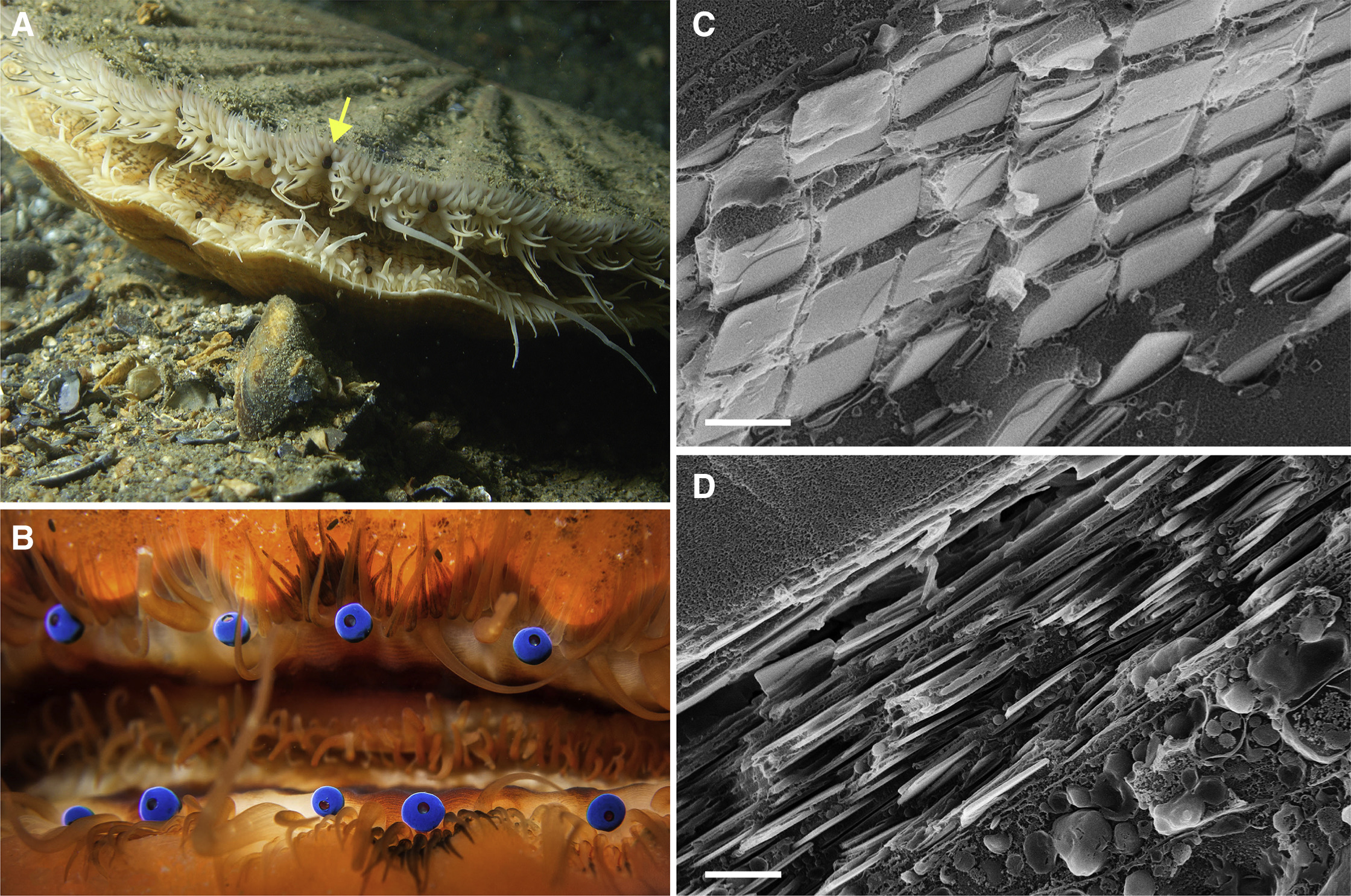 Visual Optics Remarkable Image Forming Mirrors In Scallop Eyes Current Biology