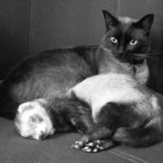 Gato y Huron B-N