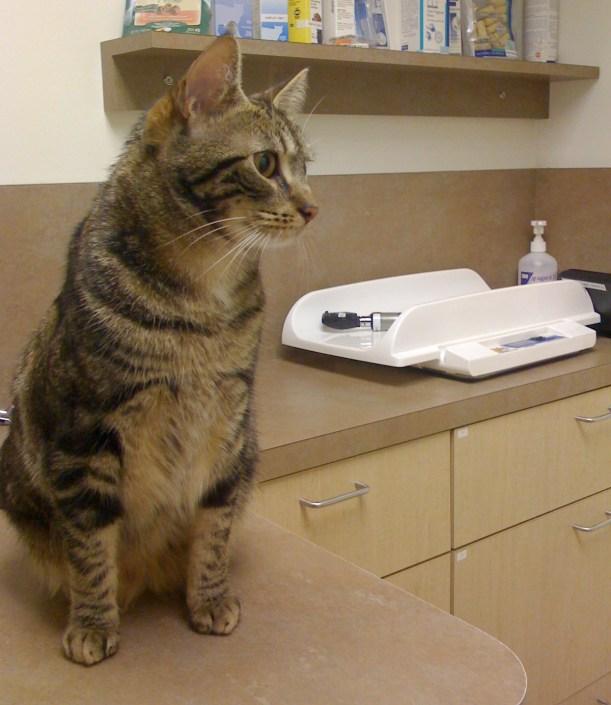 Gato - veterinario - ronroneoterapia