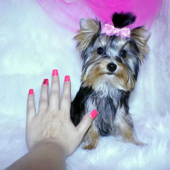 Newborn Baby Yorkies Yorkies For Sale Buy Small Female Yorkie Puppy Reina