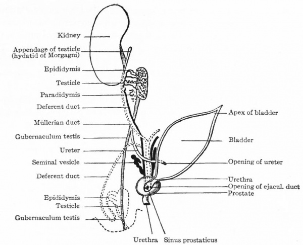 diagram of a scrotum