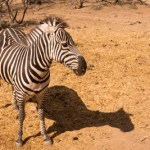 One of many Zebras viewed during the African Bush Safari