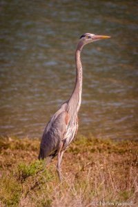 Great Blue Heron on the Harbor Peninsula Trail