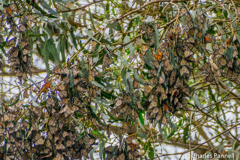 Monarch butterflies at Pismo Beach Monarch Butterfly Grove