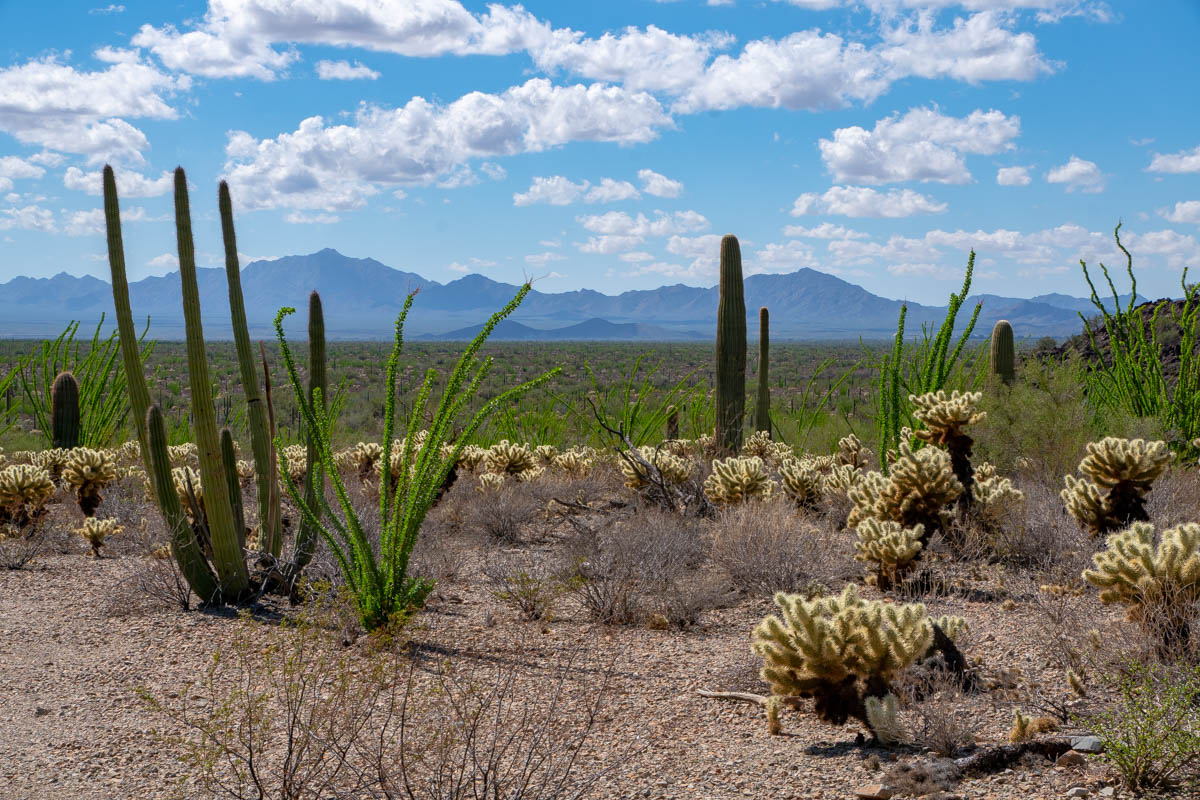 Ocotillo Cactus, Organ Pipe Cactus and Cholla Cactus in Organ Pipe National Monument