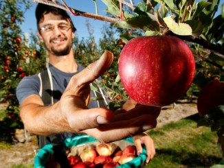 280213. News. Photo:Emma Allen/Marlborough Express. Apple picking season is in full swing. Cyrille Dumont from northern France picks royal gala apples on Kevin Murphy's orchard.