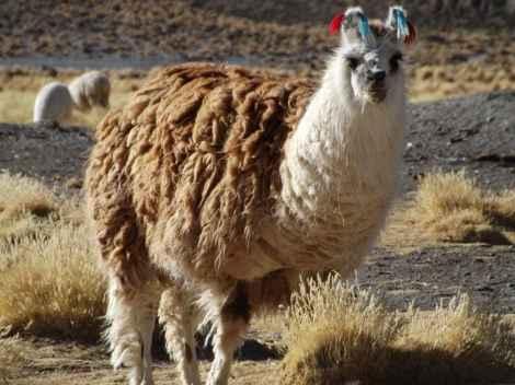 Salar Day Two, Llama