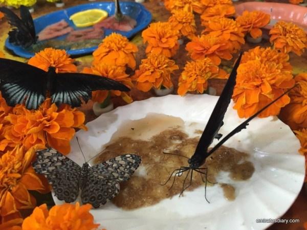 22-butterfly-garden-dubai-pictures-2015-emiratesdiary-022