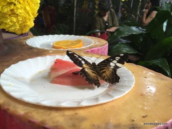34-butterfly-garden-dubai-pictures-2015-emiratesdiary-034