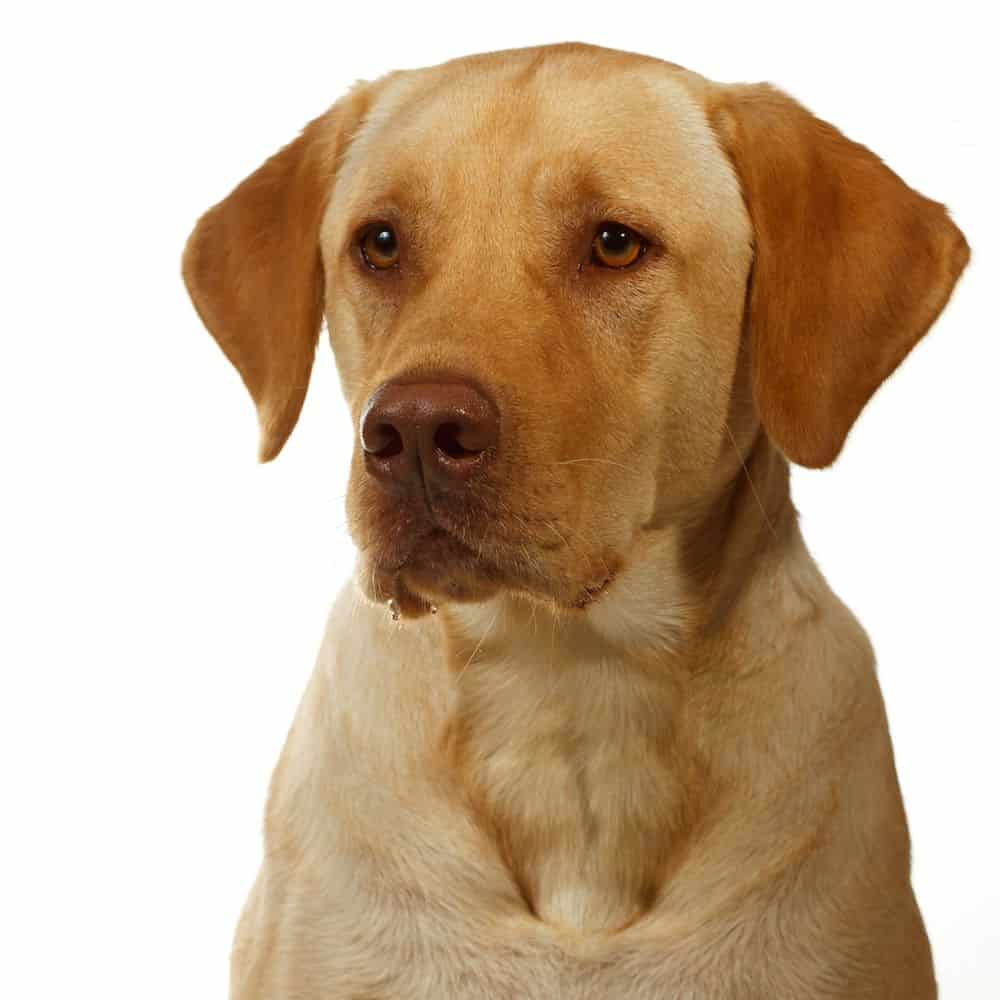 Yellow Lab Dogs For Sale What Is A Dudley Labrador What S Up With The Pink Nose