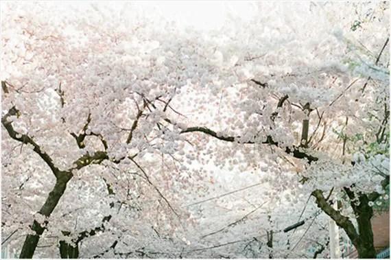 Stefanie Kapra Photography - Cherry Blossom E-Session