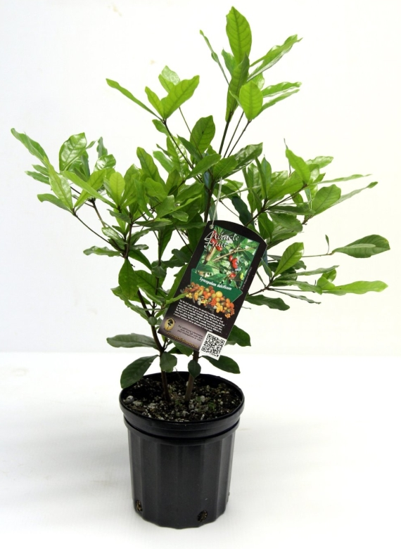 fruit plant anniversary gift idea via 27 Amazing Anniversary Gifts by Year http://emmalinebride.com/gifts/anniversary-gifts-by-year/