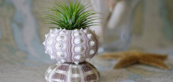 sea urchin air plant holder