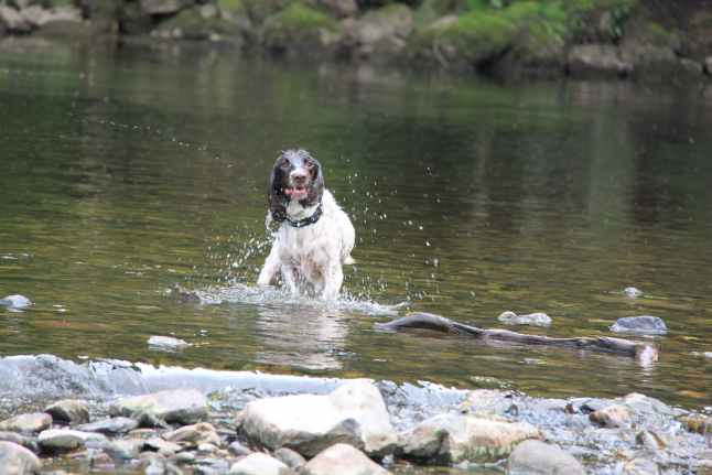 Spaniel enjoying the water at Aysgarth Falls
