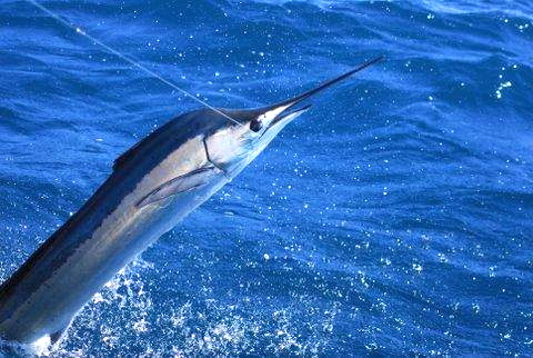 Marlin for Grand cayman fishing