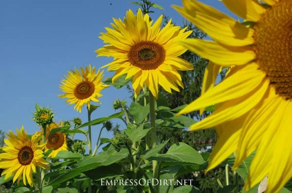 Growing Sunflowers And What Not To Do - Empress Of Dirt