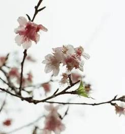 Sakura wide – Kodak 250D 5207 (35mm)