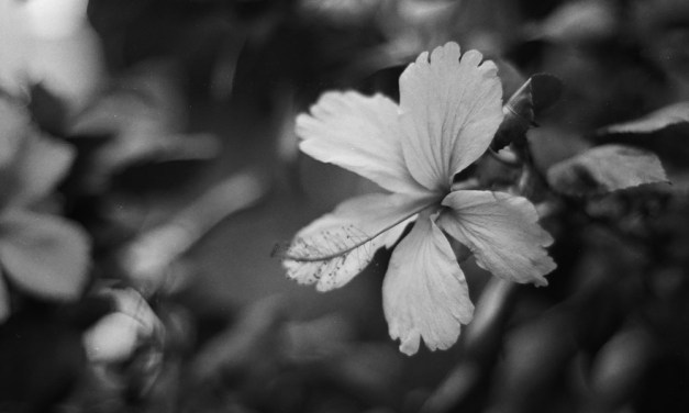 Hibiscus – Agfa APX 400 Professional (35mm)