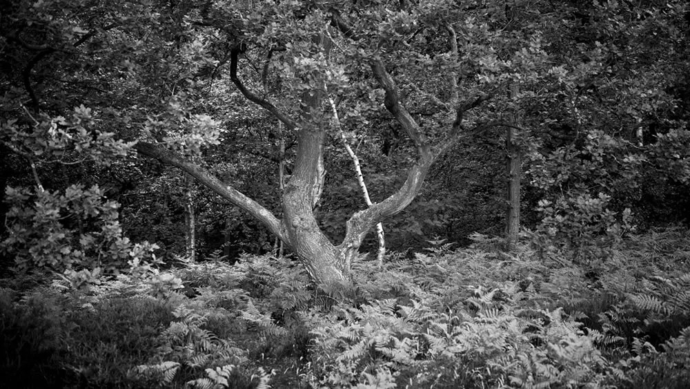 Fuji GW690iii, Ilford FP4+ - taken at Mousehold Heath, Norfolk