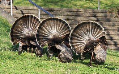 turkey fan dance