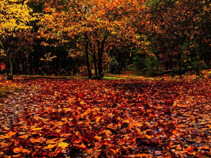 Fall Wallpaper With Pumpkins Why Trees Shed Their Leaves Earth Earthsky
