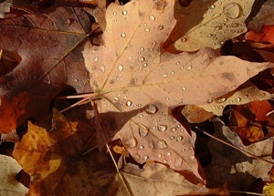 Maple Leaf Wallpaper For Fall Season Why Trees Shed Their Leaves In The Fall Earth Earthsky