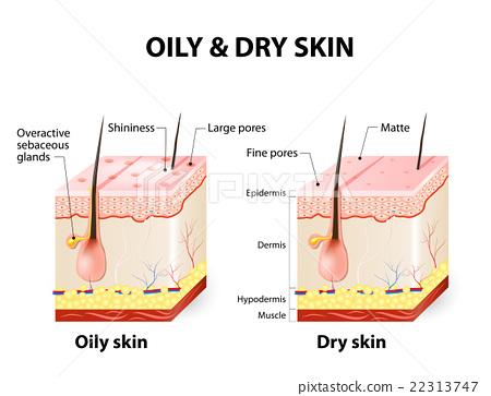 Oily and dry skin - Stock Illustration 22313747 - PIXTA