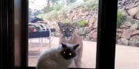 Brave-Pet-Cat-Stands-Up-To-Mountain-Lion