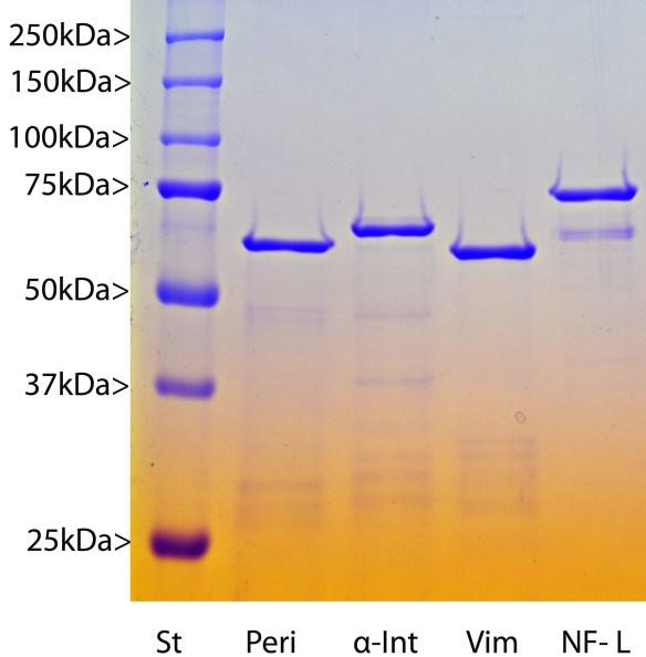 recombinant human Neurofilament NF-L
