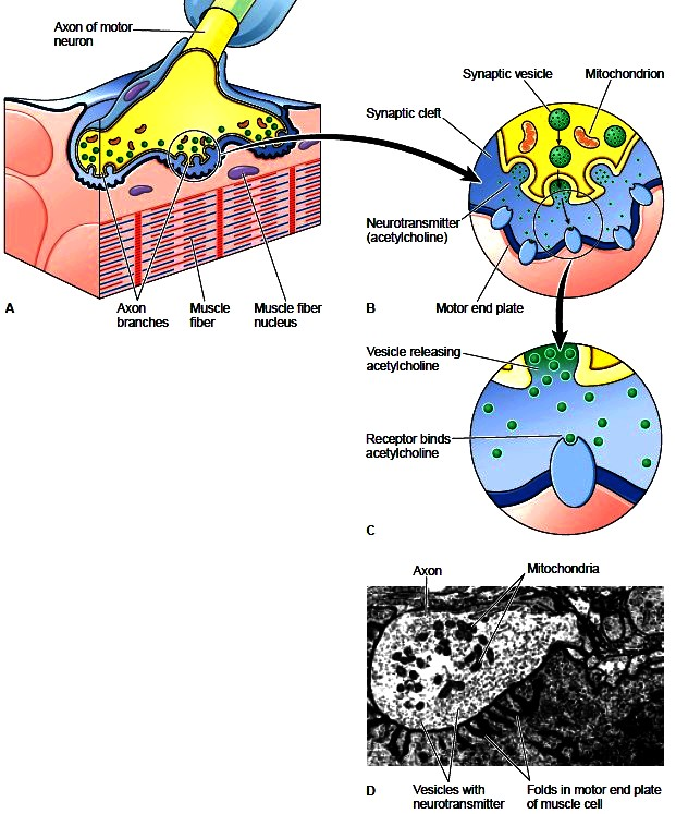 Structure of a muscle Muscle contraction Body of muscle - neuromuscular junction