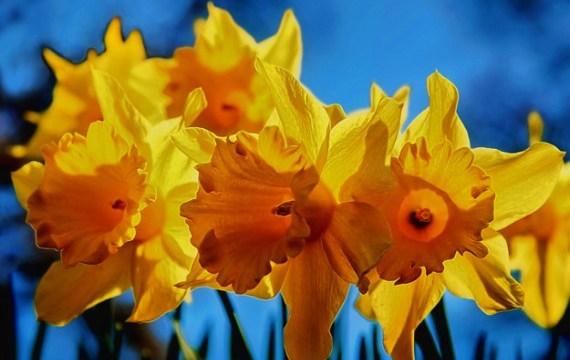 Lent-lily