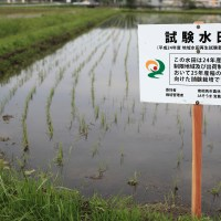 Fukushima Daiichi cleanup operations blamed for contamination of rice crops