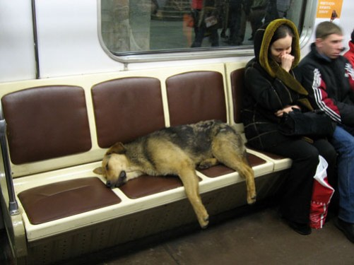Dog on a Moscow Metro train - pic from English Russia
