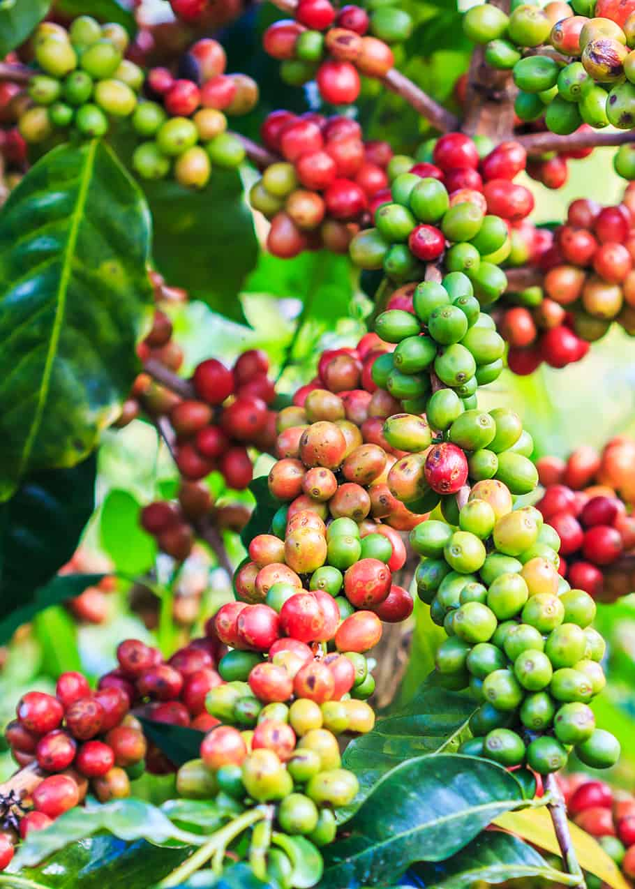 Coffee Arabica Health Benefits What Is Arabica Coffee Arabica Vs Robusta 11 Tasty Differences