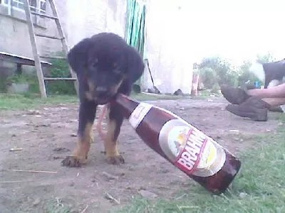 Perro tomando cerveza